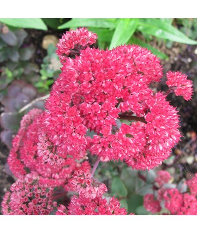Sedum Red Cauli (2lt)
