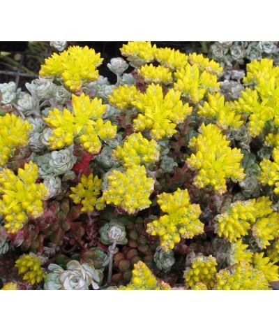 Sedum spathulifolium Cape Blanco (1lt)