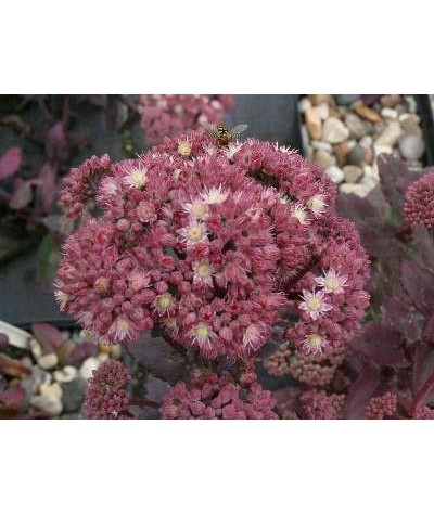 Sedum telephium Strawberries and Cream (1lt)