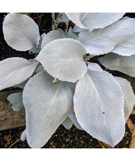 Senecio candicans Angel Wings (2lt)