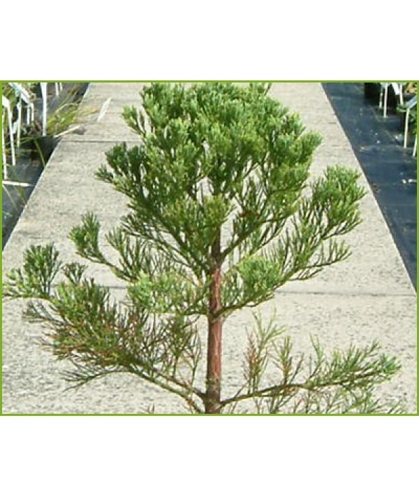 Sequoiadendron giganteum (35lt)