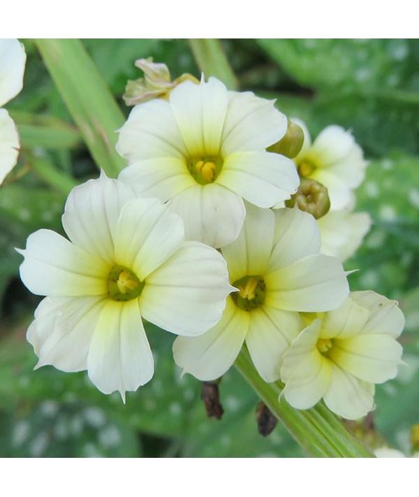 Sisyrinchium striatum (1lt)
