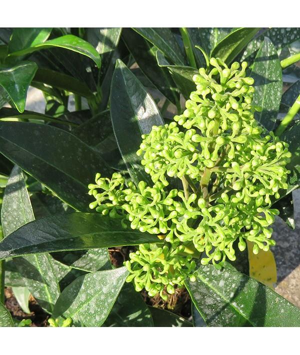 Skimmia x confusa Kew Green (male) (2lt)