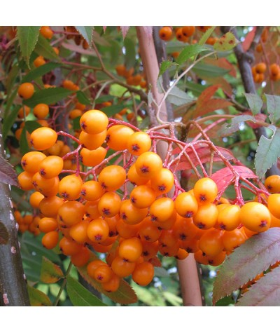 Sorbus Autumn Spire (Flanrock) (12lt)