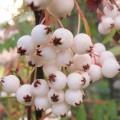 Sorbus frutescens (3lt)