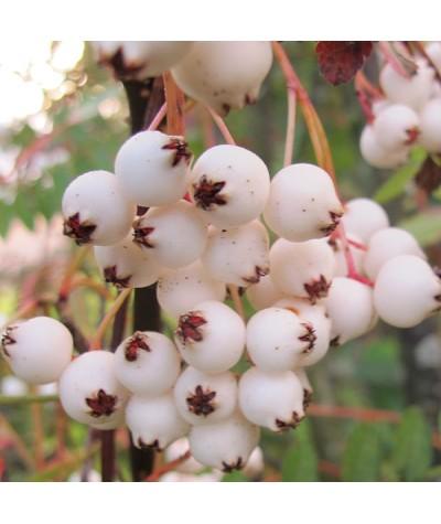 Sorbus frutescens (10lt)