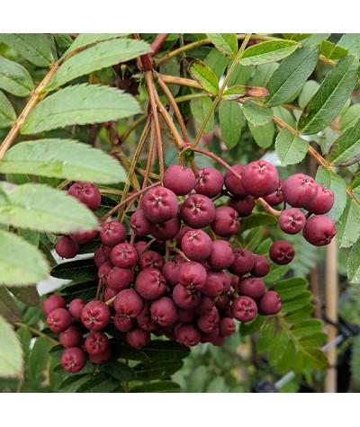 Sorbus rosea Rosiness (13.5lt)