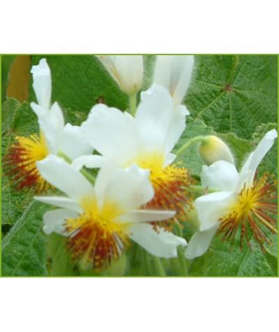 Sparrmannia africana (1lt)