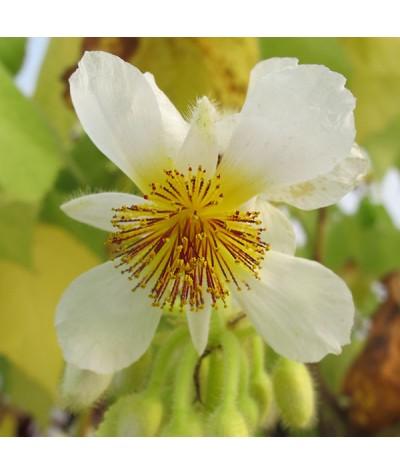 Sparrmannia africana (17.5lt)