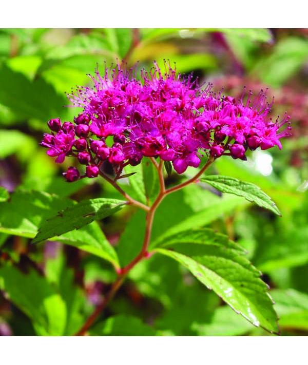 Spiraea japonica Anthony Waterer (3lt)