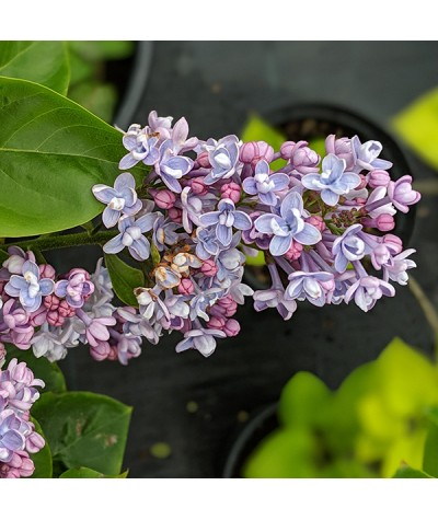 Syringa vulgaris Katherine Havemeyer (10lt)