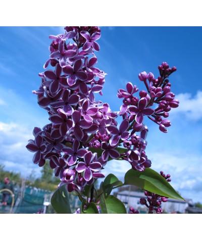 Syringa vulgaris Sensation (3lt)