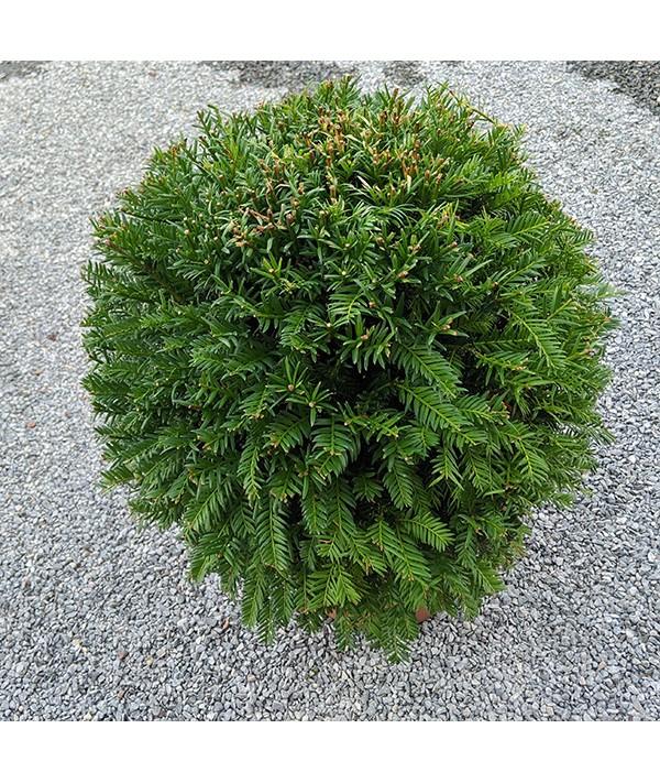 Taxus baccata (balls) (7.5lt)