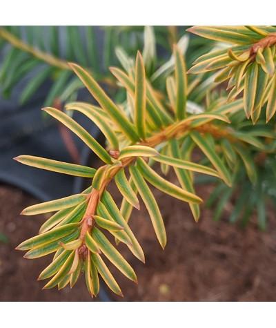 Taxus baccata Corleys Copper Tip (7.5lt)