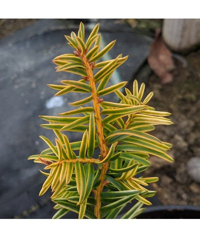 Taxus baccata Corleys Copper Tip (3lt)