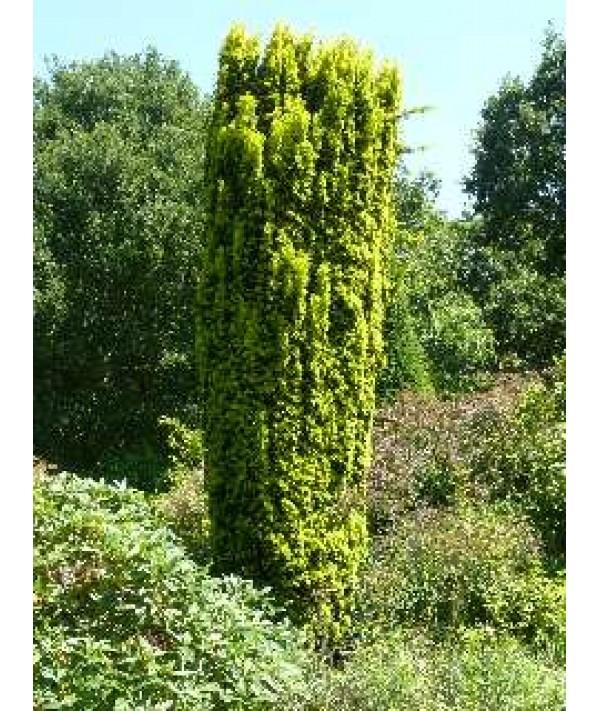Taxus baccata Standishii (5lt)