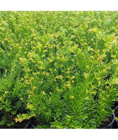 Taxus baccata Renke's Kleiner Gruner (1lt)