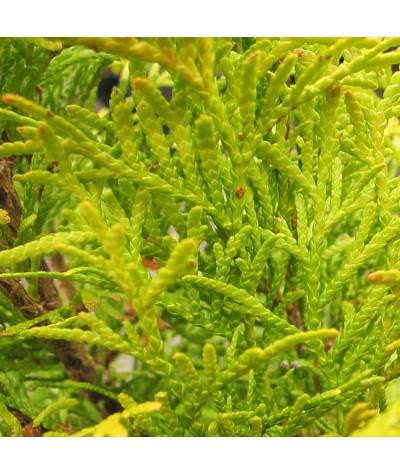 Thuja occidentalis Golden Smaragd (3lt)