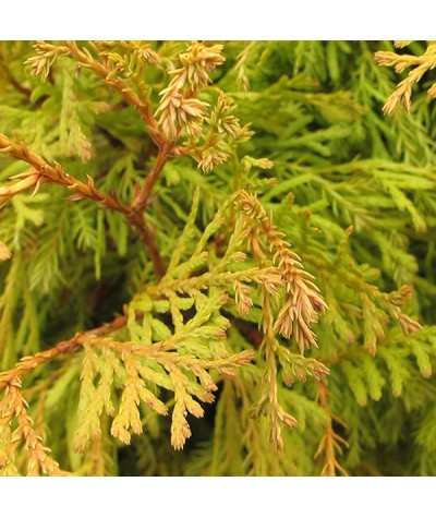 Thuja occidentalis Rheingold (7.5lt)
