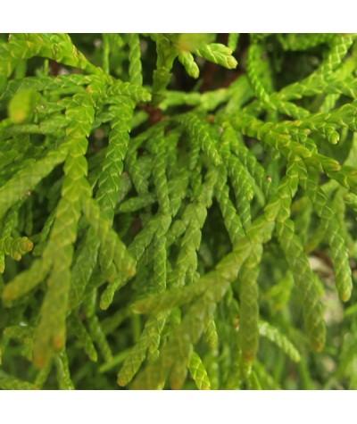 Thuja occidentalis Smaragd (3lt)