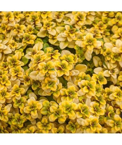 Thymus Pulegioides Archers Gold (1lt)