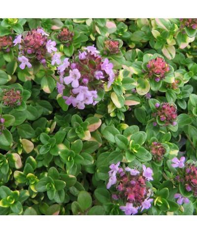 Thymus Doone Valley (9cm)