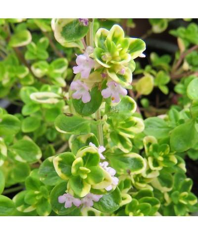 Thymus citriodorus Variegata (9cm)