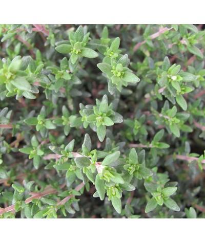 Thymus vulgaris compactus (1lt)