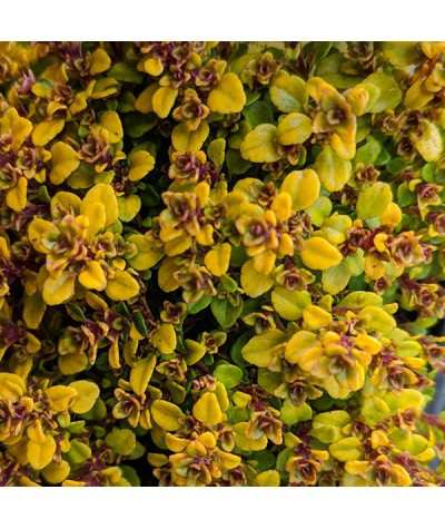 Thymus vulgaris gold (1lt)