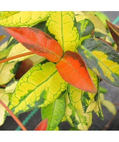 Trachelospermum asiaticum Summer Sunset (2lt)