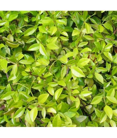 Trachelospermum asiaticum Golden Memories (4lt)