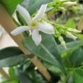 Trachelospermum jasminoides (3lt)