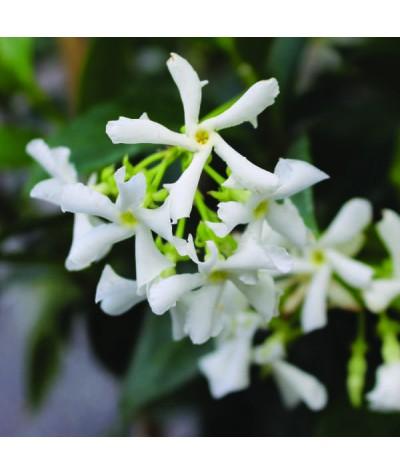 Trachelospermum jasminoides (10lt)