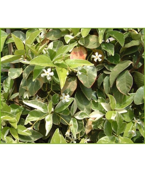 Trachelospermum jasminoides Variegatum (3lt)