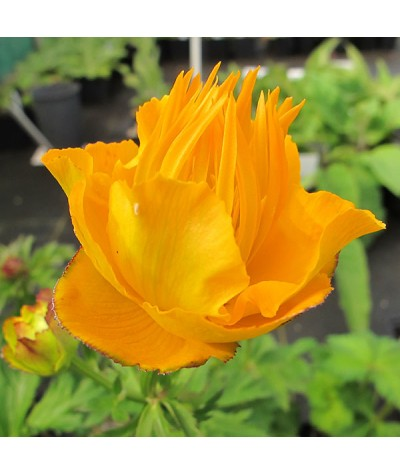 Trollius chinensis Golden Queen (1lt)