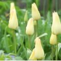Tulipa Elegant Lady (1 x bulb)
