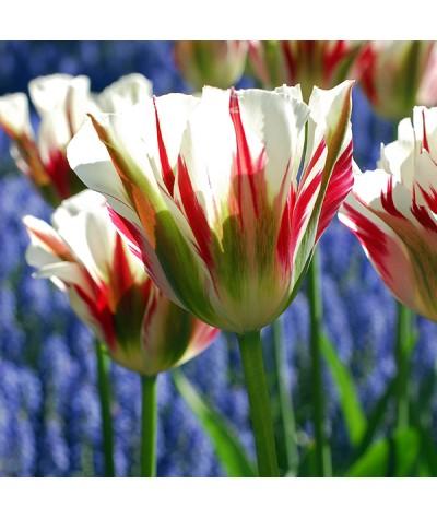 Tulipa Flaming Spring Green (4lt)