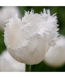 Tulipa Honeymoon (9cm)