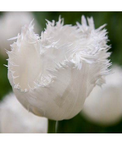 Tulipa Honeymoon (1 x bulb)