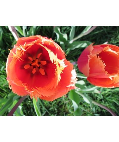 Tulipa Purissima potted bulb (9cm)