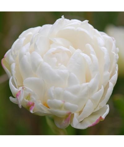 Tulipa Mount Tacoma (4lt)