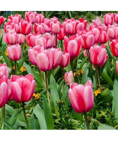 Tulipa Pink Impression (1 x bulb)