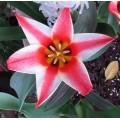 Tulipa Pinocchio (0.8lt)