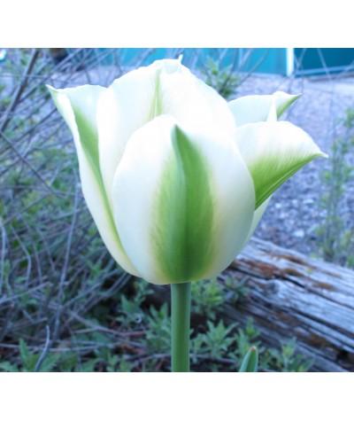Tulipa Spring Green (0.8lt)