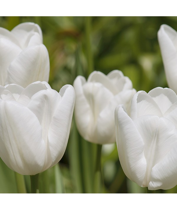 Tulipa White Dream (4lt)