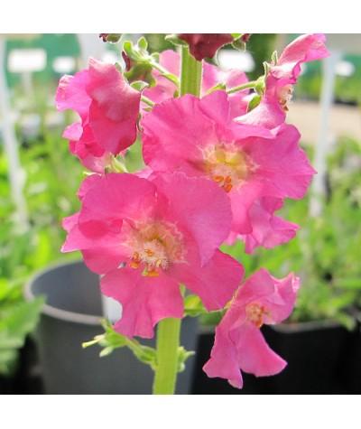 Verbascum phoeniceum Rosetta (1lt)