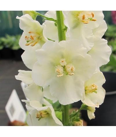 Verbascum phoeniceum White Bride (1lt)