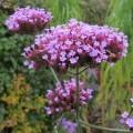 Verbena bonariensis (1lt)