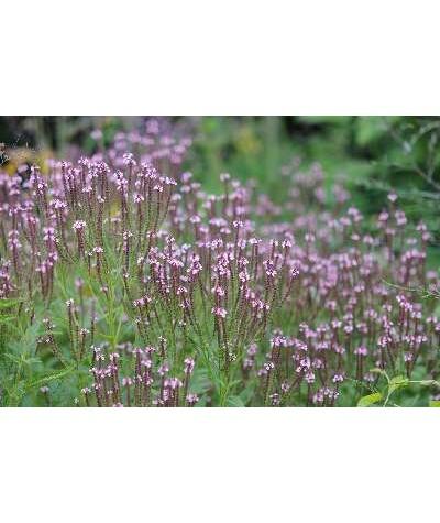 Verbena hastata rosea (1lt)