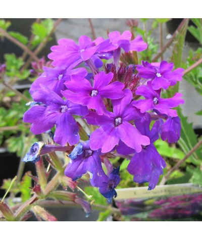 Verbena Homestead Purple (1lt)
